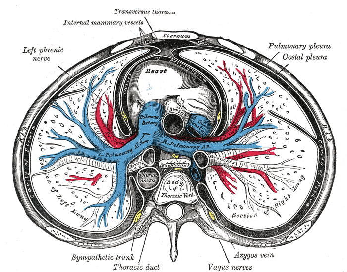 The Mediastinum, transverse section of the thorax, showing the contents of the middle and the posterior mediastinum, Left Phrenic nerve, Heart, lungs, Pulmonary pleura, Costal Pleura