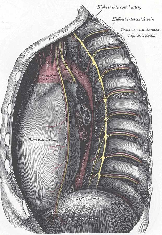 The Mediastinum, The middle and posterior mediastina; Left side, Highest intercostal artery, Highest intercostal vein, Rami communicantes, Ligament arteriosum, Pericardium, Left cupula, Diaphragm