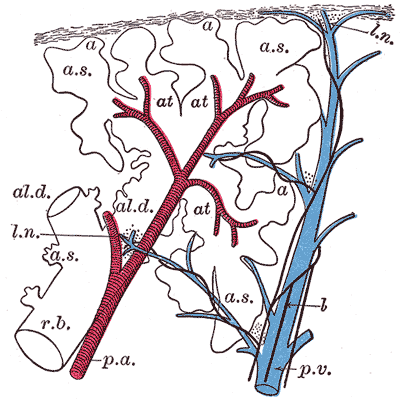 The Lungs, Schematic longitudinal section of a primary lobule of the lung, respiratory bronchiole, alveolar duct,  atria, alveolar sac, alveolus or air cell, pulmonary artery, pulmonary vein, lymphatic, lymph node