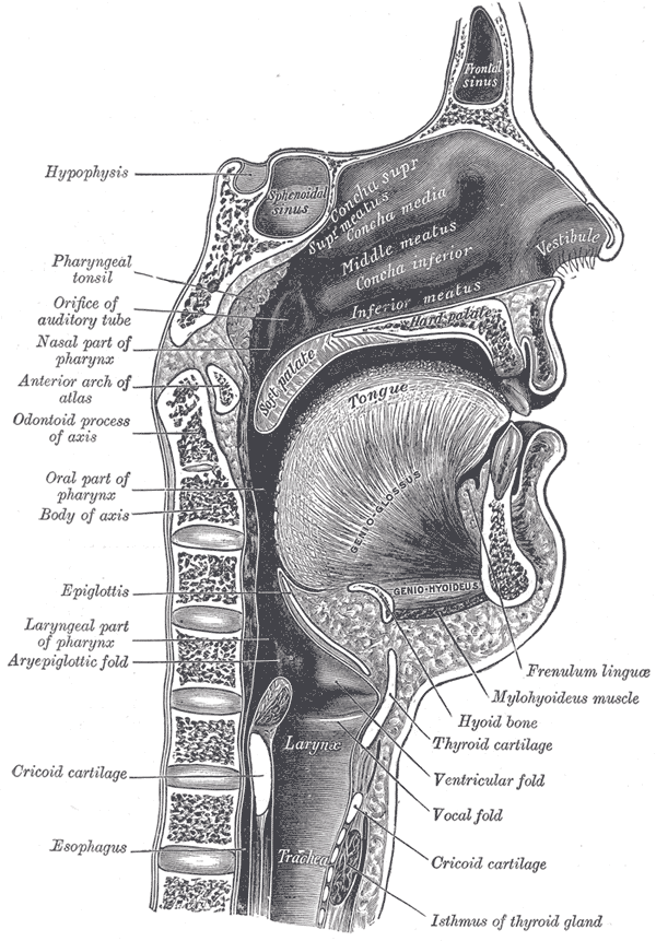 The Mouth, Sagittal section of nose mouth, pharynx, and larynx