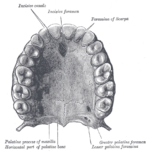 The Mouth, Permanent teeth of upper dental arch; seen from below