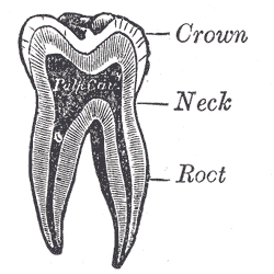 The Mouth,  Vertical section of a molar tooth, Crown, Neck, Root, Pulp cavity