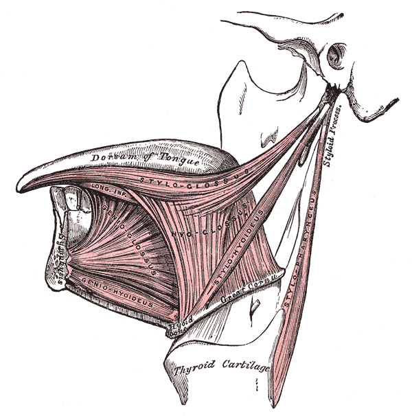 The Mouth, Extrinsic muscles of the tongue; Left side, Dorsum of Tongue, Styloglossus, Hyoglossus, Genioglossus, Geniohyoideus, Stylopharyngeus, Thyroid cartilage
