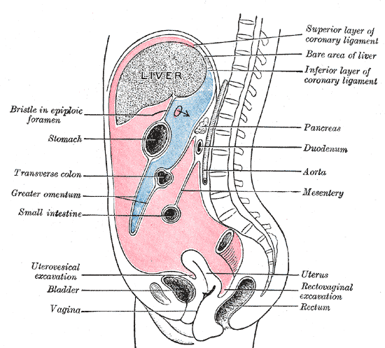 The Abdomen, Vertical disposition of the peritoneum, Main cavity; red, omental bursa; blue