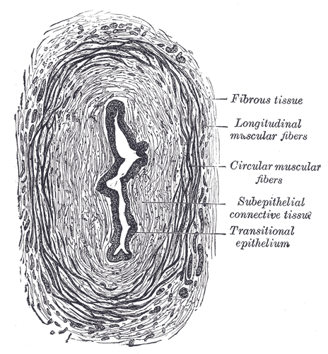 The Ureters, Transverse section of ureter, Fibrous tissue, Longitudinal muscular fibers, Circular muscular fibers, Subepithelial connective tissue, Transitional epithelium