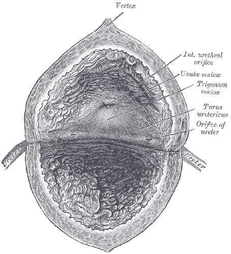 The Urinary Bladder, The interior of bladder, Vertex, Interior urethral orifice, Uvula Vesicae, Torus ureteric, Orifice of ureter