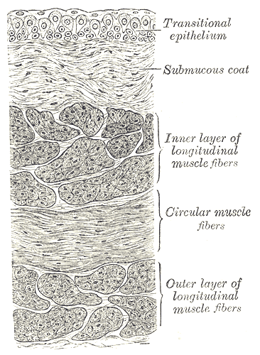 The Urinary Bladder, Vertical section of bladder wall, Transitional epithelium, Submucous coat, Inner layer of longitudinal muscle fibers, Circular muscle fibers, Outer layer of longitudinal muscle fibers