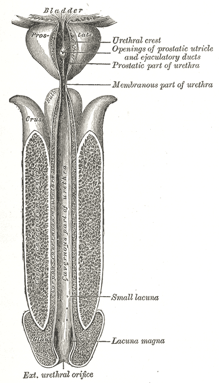 The male Urethra,  The male urethra laid open on its anterior Surface from above, lacuna, Prostate, bladder