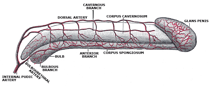 The Penis, Diagram of the arteries of the penis, Corpus Cavernosum, Glans penis, bulbous branch