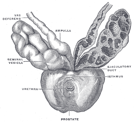 The Prostate, Prostate with seminal vesicles and seminal ducts, viewed from in front and above