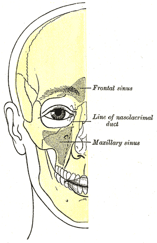 Outline of bones of face; showing position of air sinuses, Frontal sinus, Line of nasolacrimal duct, Maxillary sinus