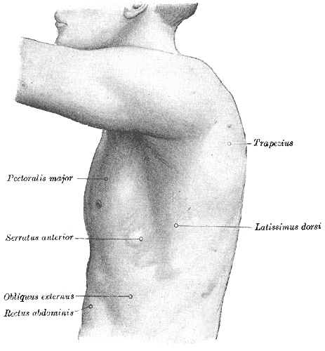 Surface Anatomy of the Thorax, The left side of the thorax, Trapezius, Pectoralis Major, Serratus Anterior, Obliques Externus, Rectus Abdominis, Latissimus dorsi