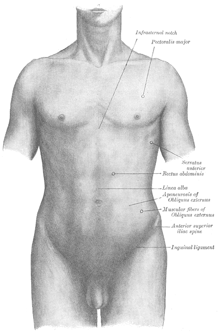 Surface anatomy of the front of the thorax and abdomen, Infrasternal notch, Pectoralis major, Serratus Anterior, Rectus abdominis, Linea alba, Aponeurosis of Obliques externus, Muscular Fibers of Obliques Externus, Anterior Superior iliac Spine, Inguinal ligament