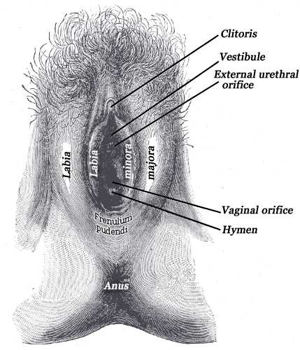 External genital organs of female, The labia minora have been drawn apart, Cliotirs, Vestibule, Urethral orofice, Vaginal orificie, hymen