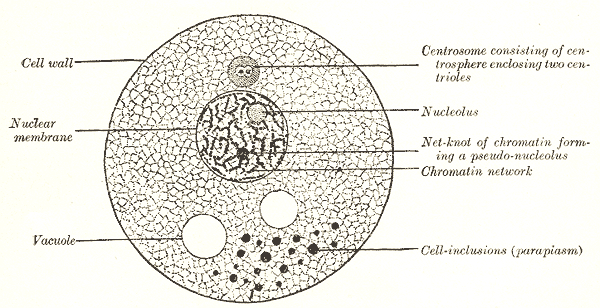 The Animal Cell, Diagram of a cell, Cell wall, Nuclear membrane, Vacuole, Cell inclusions, Nucleolus, Chromatin network, Centrosome consisting of centrosphere enclosing two centrioles
