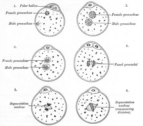 Fertilization of the Ovum, The process of fertilization in the ovum of a mouse, Female and Male Pronucleus