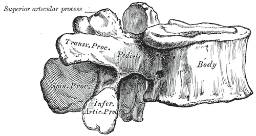 A Lumbar Vertebra from the side