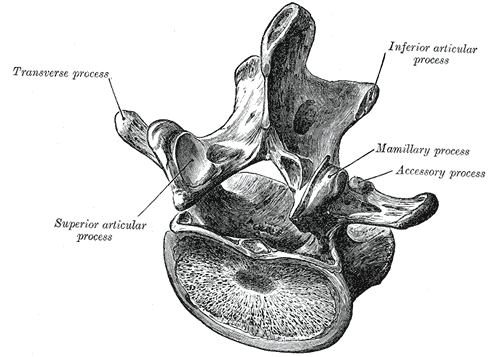 A Lumbar Vertebra from above and behind