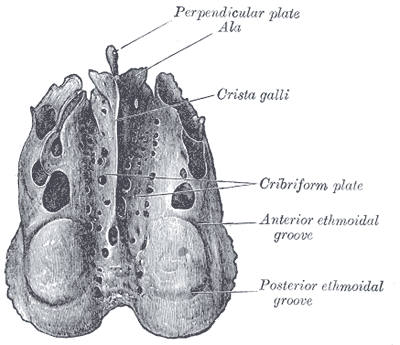 The Ethmoid Bone; From above