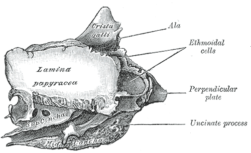 The Ethmoid bone from the right side, Ala, Ethmoidal Cells, Perpendicular plate, Uncinate process, Lamina papyracea