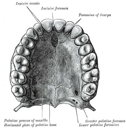 The Maxilla, The bony palate and alveolar arch