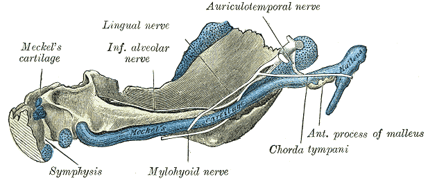 Mandible of human embryo 95 mm long; Inner aspect, Meckel's Cartilage, Mylohyoid nerve, Auriculotemporal nerve, Chorda tympani