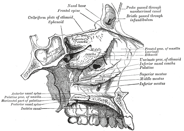 The Interior of the Skull, Roof; floor; and lateral wall of left nasal cavity