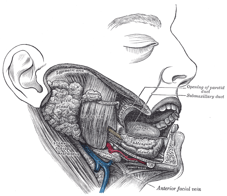 Dissection, showing salivary glands of right side. Note: Parotid duct or Stensen Duct is the route that saliva takes from the major salivary gland to the parotid gland into the mouth.