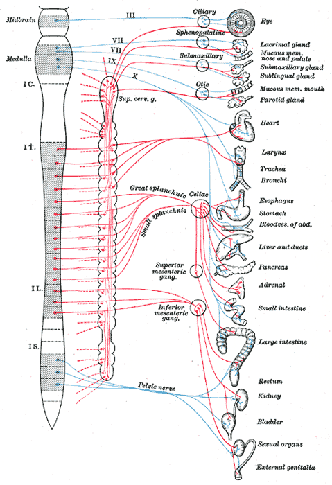 Diagram of efferent sympathetic (red) and parasympathetic (blue) nervous system
