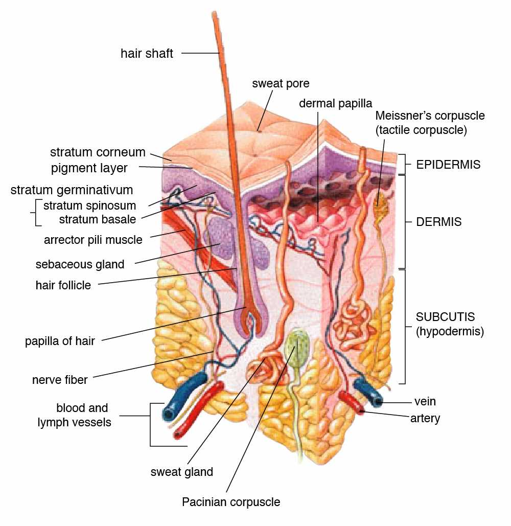 Anatomy of the human skin