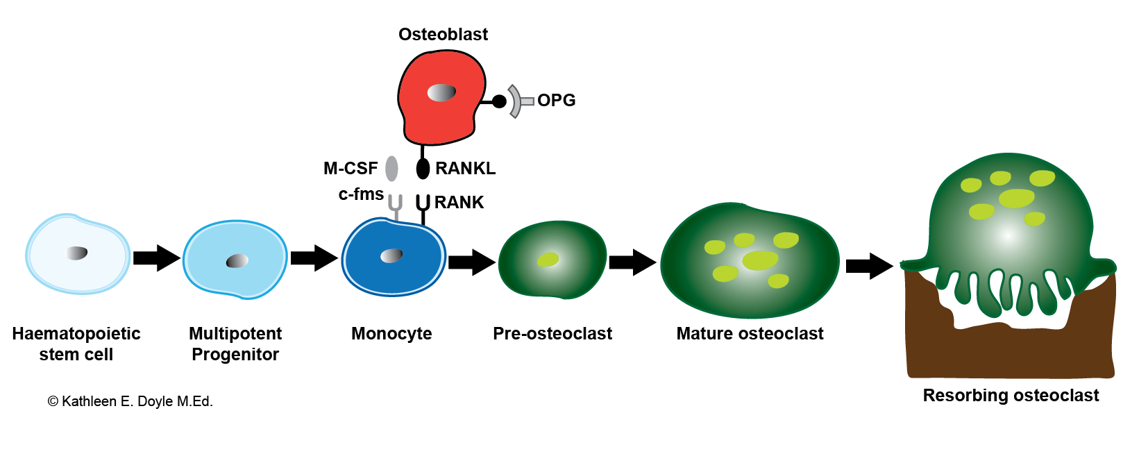 Schematic illustration of osteoclastogenesis. Bone-resorbing osteoclasts originate from hemopoietic cells of the monocyte–macrophage lineage under control of bone- forming osteoblasts. RANKL, the receptor activator of NF-κB ligand; M-CSF, macrophage colony stimulating factor; OPG, osteoprotegrin.