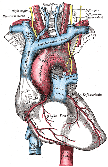 The arch of the aorta, and its branches.