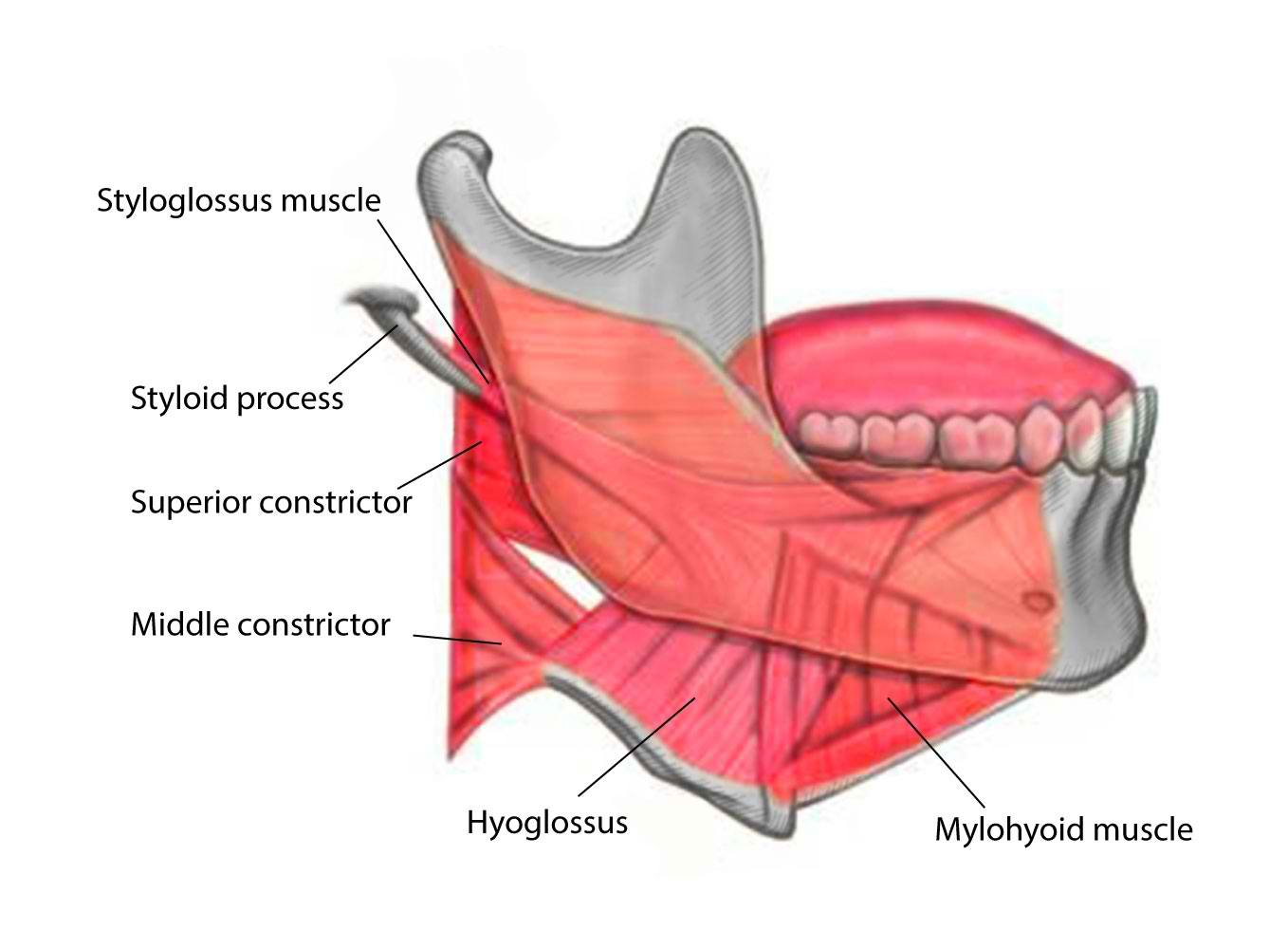 Styloglossus, Middle constrictor, Hyoglossus, and Mylohyoid Muscles