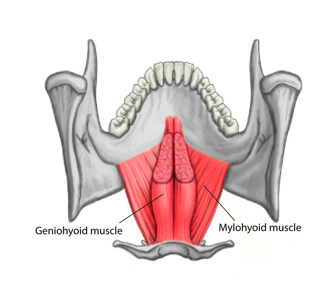 Geniohyoid and Mylohyoid Muscles