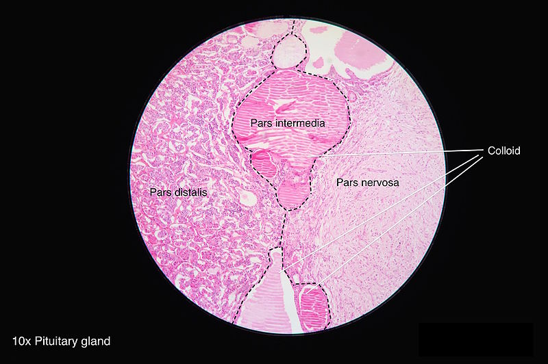 Histology of Pituitary Gland, Colloid, Pars distalis, Pars intermedia, Pars nervosa