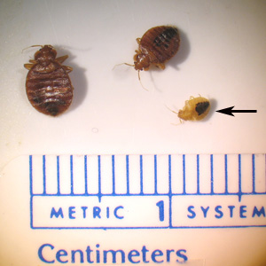 Bed bugs - Two adult and one nymph
