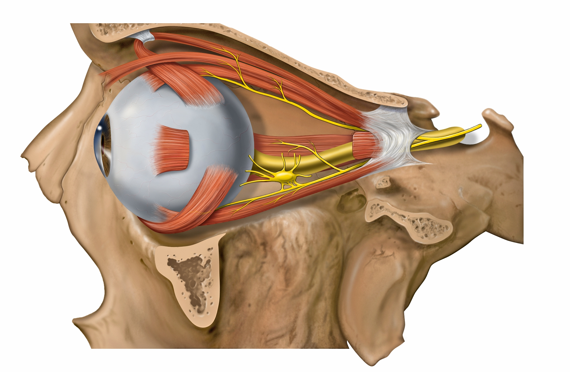 Lateral orbit with extraocular muscles and nerves.