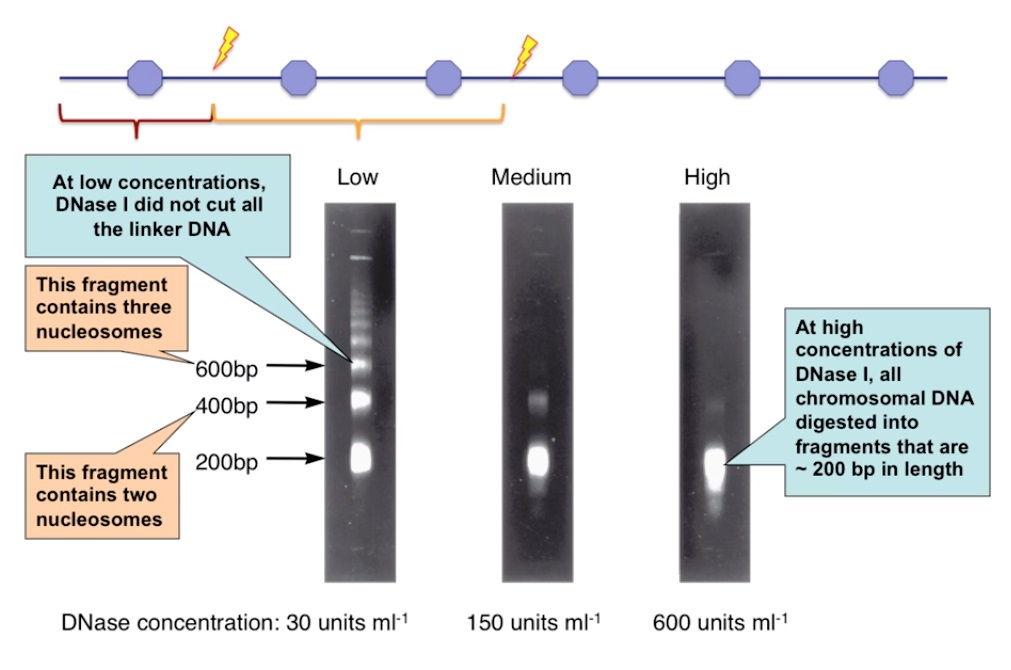DNA in the nucleus wrapped in chromatin was approximately 200 base pairs long around each nucleosome