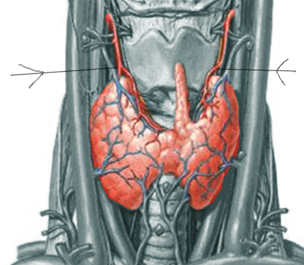 Thyroid artery