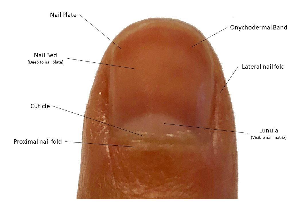 Gross anatomy of nail unit