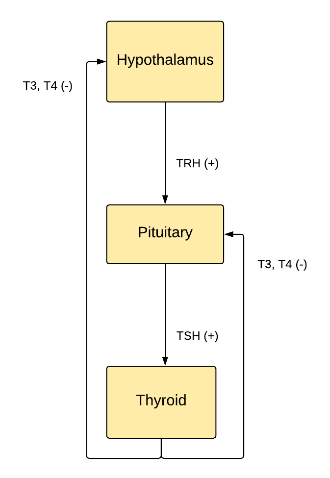 The Hypothalamus-Pituitary-Thyroid Axis.