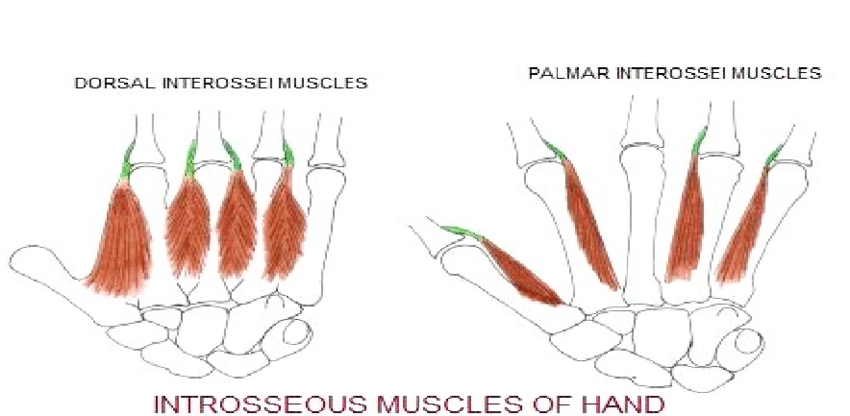 The image shows the intrinsic muscles of the hand, in the dorsal and palmar portion.