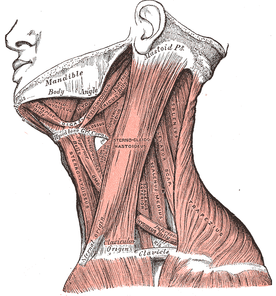 Muscles of the neck, lateral view.