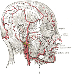 Arteries of the scalp