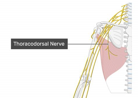 The figure shows the thoracodorsal nerve and the latissimus dorsi muscle.