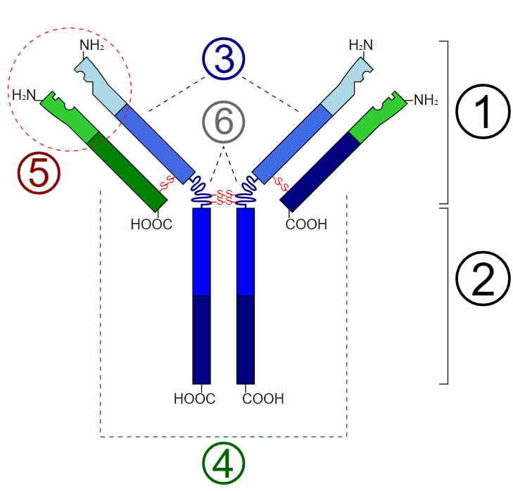 Schematic diagram of the basic unit of immunoglobulin (antibody)