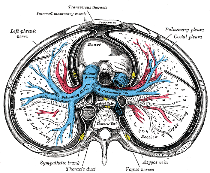 Transverse Cross Section of Sternum; Including Lungs and Heart, Pulmonary pleura Costal Pleura, Azygos vein, Vagus Nerves, Thoracic Duct, Sympathetic Trunk, Left Phrenic Nerve, Internal Mammary Vessel, Transversus Thoracis, Heart, Left and Right Lung, Mody of Thoracic Vertebrae