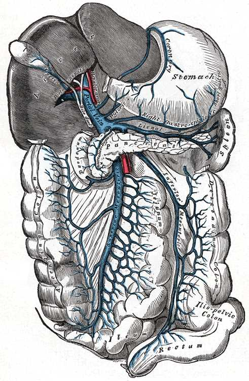 Portal vein and its branches, Superior Mesenteric vein, Inferior Mesenteric vein, Lienal vein, Right gastroepiploic vein