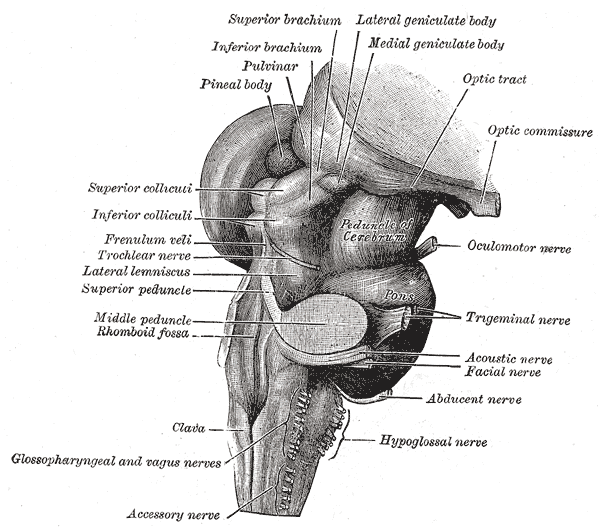 The Hind-brain or Rhombencephalon, Hind and mid-brain; Postero-lateral view, Peduncle of Cerebrum, Pons, Pineal body