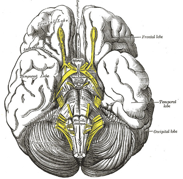 The Telencephalon, Base of the Brain, Pas optica hypothalami, Temporal Lobe, Cerebellum, Occipital lobe, Frontal lobe
